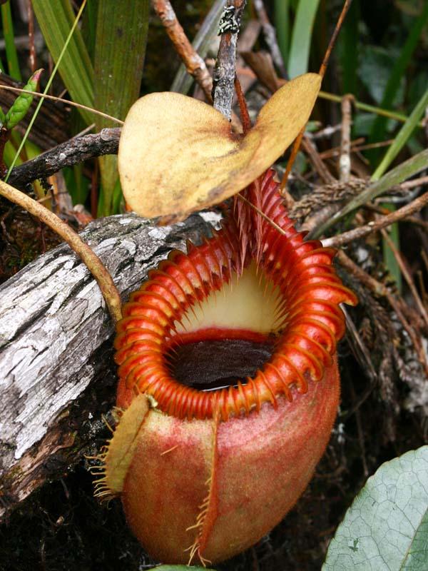 amazon rainforest plants. pitcher plant amazon rainforest plants c