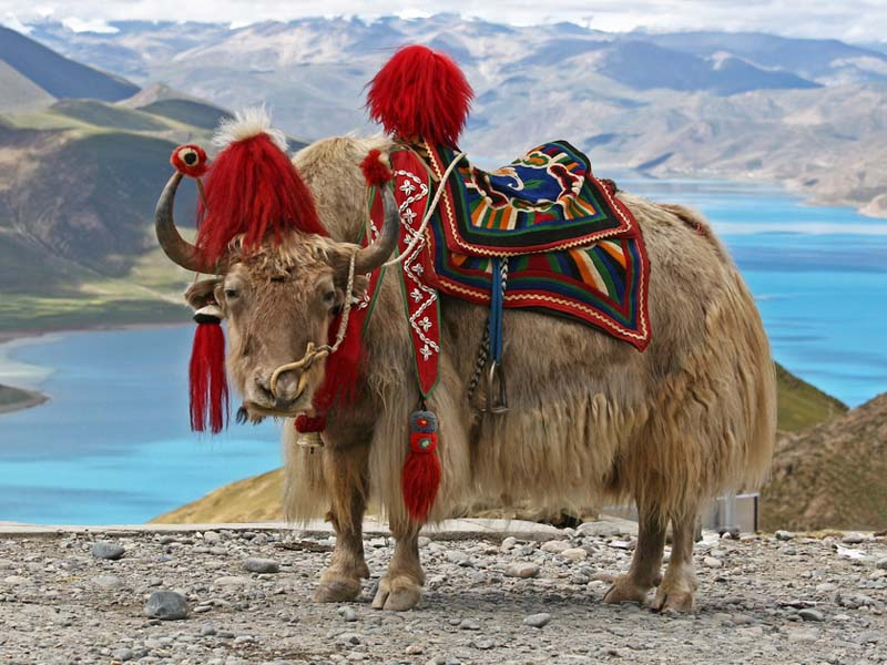 img-china-yak2_big.jpg