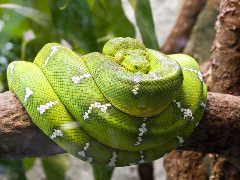 Emerald boa constrictor : rainforest under canopy - memphite.com