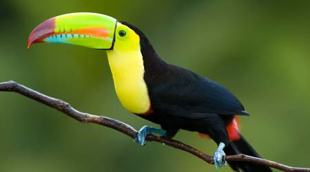 rainforest canopy layer-keelbilledtoucan & Rainforest - Canopy Layer for primary kids