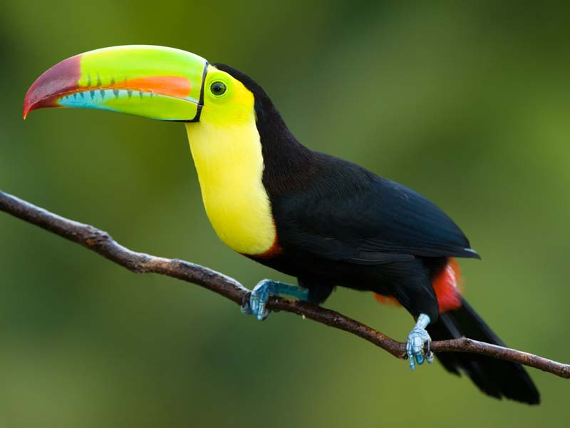 Keel-billed Toucan South America & Rainforest - Canopy Layer for primary kids