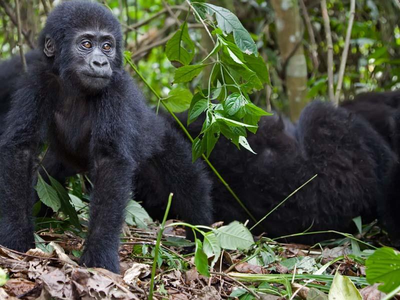 Captivating Rainforest Forest Floor Mountaingorilla. Mountain Gorilla, Central Africa