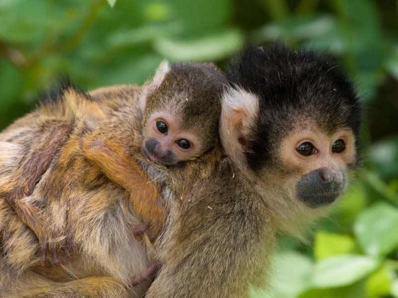 Squirrel Monkey Central and South America & Rainforest - Canopy Layer for primary kids