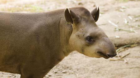 Superior Rainforest Forest Floor Animal Tapir
