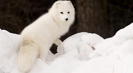 alpine tundra caribou