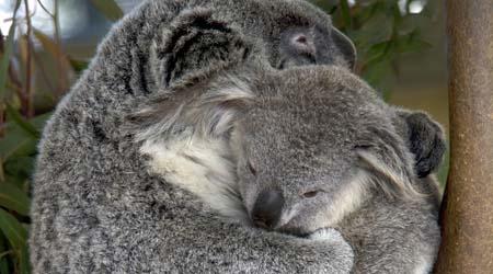 Animals of Australia for kids