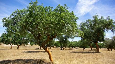 Cork Tree In Mediterranean